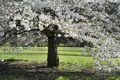 Rosaceae Photograph - Japanese Cherry Tree by Tim Gainey