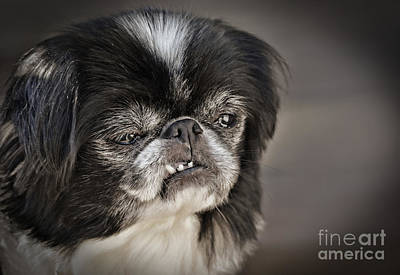 Jim Fitzpatrick Digital Art - Japanese Chin Doggie Portrait by Jim Fitzpatrick