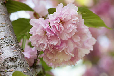 Photograph - Japanese Flowering Cherry 2 by Dawn Cavalieri