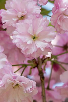 Photograph - Japanese Flowering Cherry 3 by Dawn Cavalieri