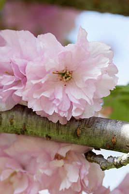 Photograph - Japanese Flowering Cherry 4 by Dawn Cavalieri