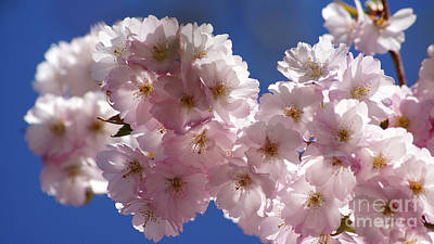 Photograph - Japanese Flowering Cherry Prunus Serrulata by Eva-Maria Di Bella