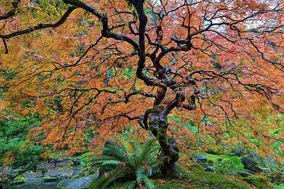 Photograph - Japanese Garden Lace Leaf Maple Tree In Fall by David Gn