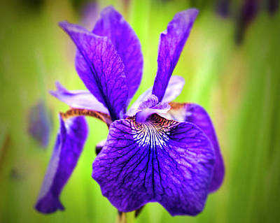 Photograph - Japanese Iris by Phyllis Taylor