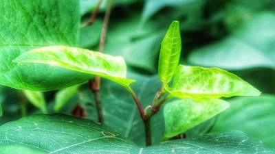 Photograph - Japanese Knotweed by YoursByShores Isabella Shores