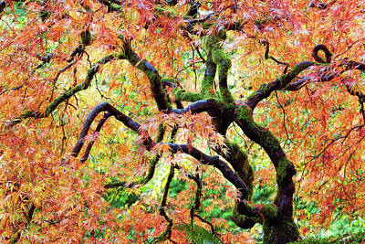 Photograph - Japanese Lace Leaf Maple Tree In Fall by David Gn