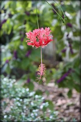 Photograph - Japanese Lantern Hibiscus by Mandy Shupp