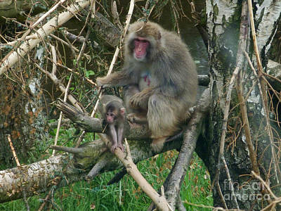 Photograph - Japanese Macaque - Female And Baby by Phil Banks