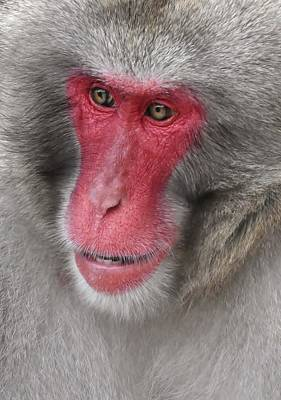 Photograph - Japanese Macaque Portait by Werner Lehmann