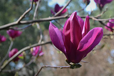 Photograph - Japanese Magnolia by Nadalyn Larsen