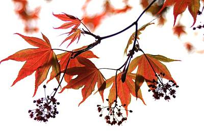 Japanese Maple 2011-2 Art Print