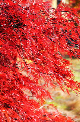 Japanese Maple 9 Print by Tanya  Searcy