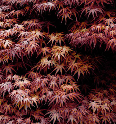 Photograph - Japanese Maple, Acer Palmatum Seigen by Frank Tschakert