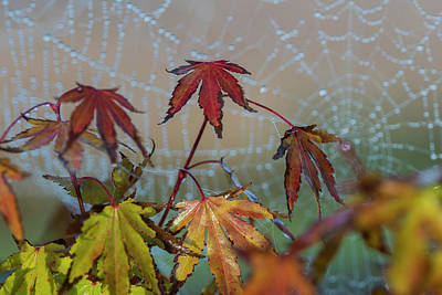 Photograph - Japanese Maple And Web by Robert Potts