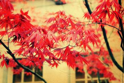 Red Leaf Digital Art - Japanese Maple by Cathie Tyler