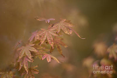 Photograph - Japanese Maple by Cindy Garber Iverson