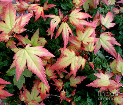 Photograph - Japanese Maple by Cynthia Adams