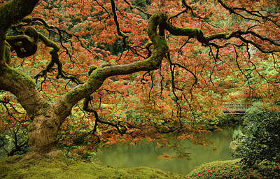 Photograph - Japanese Maple Delight by Don Schwartz