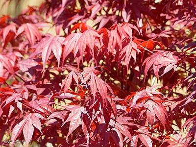 Photograph - Japanese Maple In April by Matt Taylor