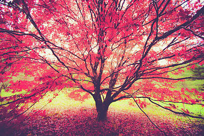 Japanese Maple In Fall Art Print