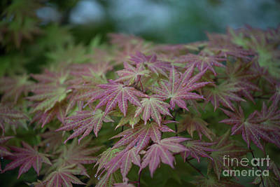 Photograph - Japanese Maple In Rain by David Bearden