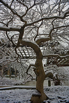 Photograph - Japanese Maple In Snow by Dana Sohr