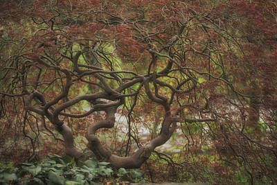 Photograph - Japanese Maple In Spring by Jacqui Boonstra