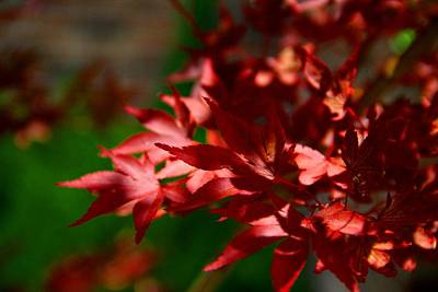 Photograph - Japanese Maple In Sunlight by Kathryn Meyer
