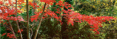 Photograph - Japanese Maple by John Pagliuca