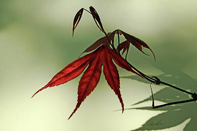 Photograph - Japanese Maple Leaf by Ann Lauwers