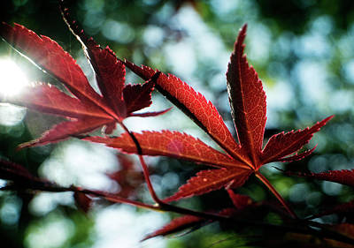 Photograph - Japanese Maple Leaf by Chrystal Mimbs