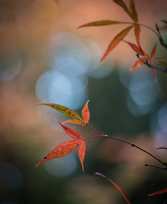 Symmetry Photograph - Japanese Maple Leaves Meditation by Mike Reid