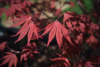 Photograph - Japanese Maple by Mary Zeman