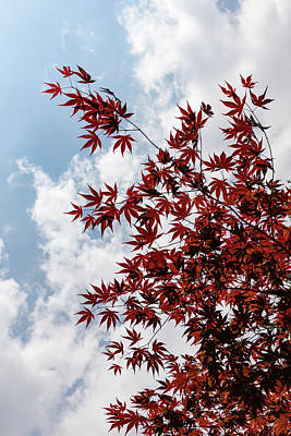 Photograph - Japanese Maple Red Lace - Vertical Up Left by Georgia Mizuleva