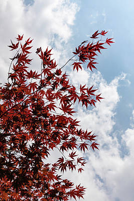Photograph - Japanese Maple Red Lace - Vertical Up Right by Georgia Mizuleva