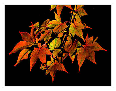 Photograph - Japanese Maple by Roger Bester