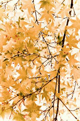 Acer Palmatum Photograph - Japanese Maple Tree Acer Palmatum by Frank Tschakert
