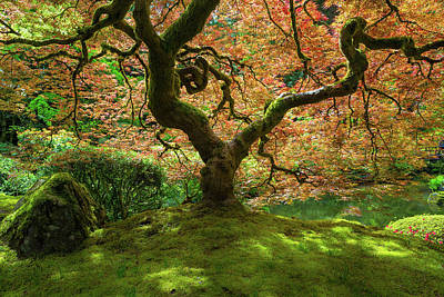 Photograph - Japanese Maple Tree Bathed In Sunlight by David Gn