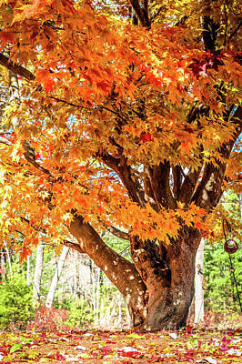 Photograph - Japanese Maple Tree In Autumn Colors by Claudia M Photography