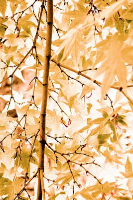 Acer Palmatum Photograph - Japanese Maple Tree Leaves by Frank Tschakert