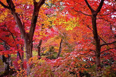 In A Row Photograph - Japanese Maple Trees by I love Photo and Apple.