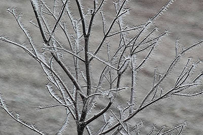Photograph - Japanese Maple With Hoarfrost 7529 by Ericamaxine Price