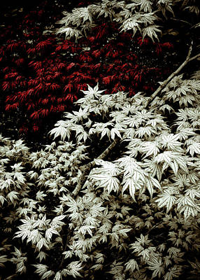 Maple Leaf Art Photograph - Japanese Maples by Frank Tschakert