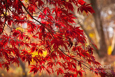 Japanese Maples Art Print by Susan Cole Kelly