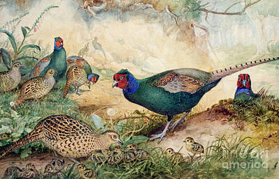 Japanese Pheasants Art Print by Joseph Wolf