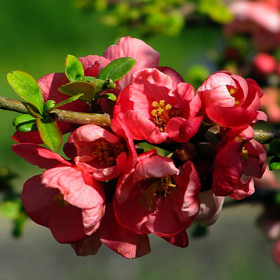 Japanese Quince Original by Judith Groeger