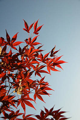 Photograph - Summertime Bloom Of A Japanese Red Maple by Evelyn Odango