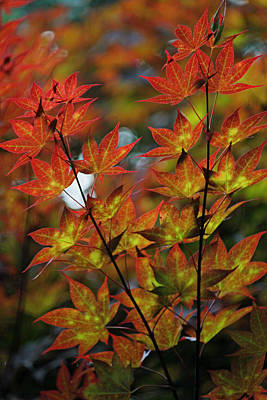 Japanese Red Maple IIi Original by Suzanne Gaff