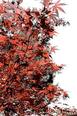 Photograph - Japanese Red Maple Selective Color by Jerry Sodorff