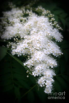 Photograph - Japanese Spirea by Kay Novy